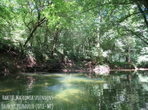 Habitat macromia splendens laurent pelozuelo opie mp titre